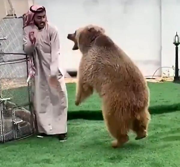 فيديو وصل إلى التريند.. مواجهة بين دب وشاب سعودي .. شاهد ماذا حصل!