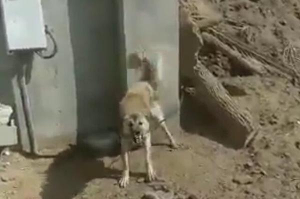 فيديو موظف سعودي يتفاجأ بكلب حراسة أمام عداد كهرباء أحد المستفيدين