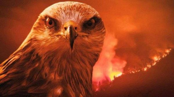 علماء يكشفون عن طائر قد يكون وراء حرائق أستراليا.. كان الرسول ﷺ قد نصح بقتله ! (فيديو)