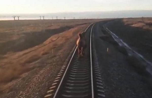 """""""جمل عنيد"""" يعطل قطارًا في روسيا.. وفيديو يظهر الواقعة"""