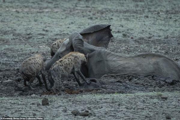 """""""أكلوه حيًّا أمام أمه"""".. شاهد مأساة وقعت في حديقة زيمبابوي"""