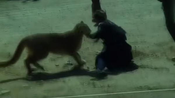 أسد جبلي يهاجم ضابطة بشراسة.. شاهد مالذي حدث حينها (فيديو)