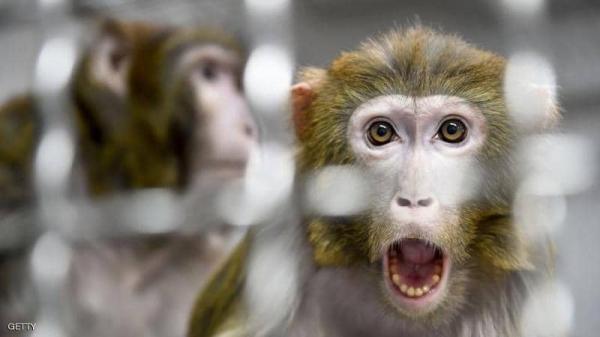 دراسة على القرود بشأن كورونا .. تكشف هذه الحقيقة !