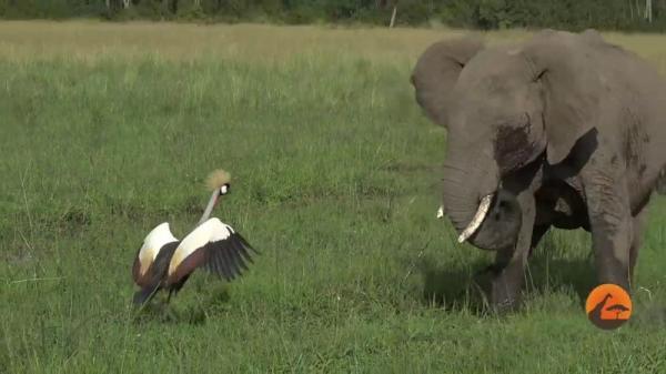 أنثى طائر تتجرأ بشجاعة منقطعة النظير وتوقف قطيع أفيال إفريقي (فيديو)