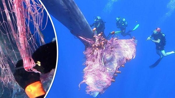 أضخم الحيتان عالق في شبكة صيد مهجورة ومساعٍ لنجدته (فيديو)