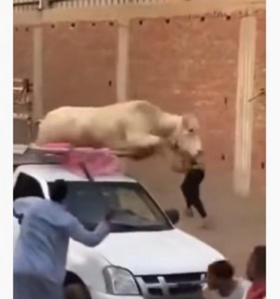 عجل خارق يرفض الذبح ويحطم سيارة نقل.. شاهد الفيديو