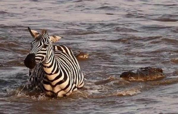 نجاة حمار الوحش من بين أنياب تمساحين حاولات افتراسه على النهر (فيديو)