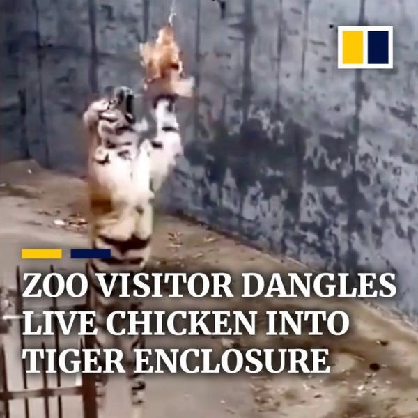 دجاجة تجعل نمرا يسقط على ظهره... فيديو