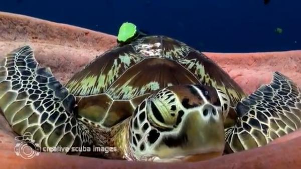 شاهد فيديو.. مشهد جميل لسلحفاة غلبها النعاس تحت الماء فقامت بالتوجه إلى حيوان الإسفنج