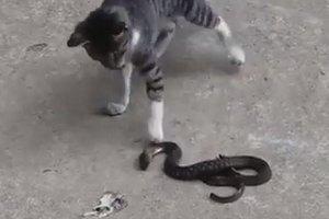 مواجهة مع ثعبان قاتل... قطة تدافع عن نفسها بشراسة (فيديو)